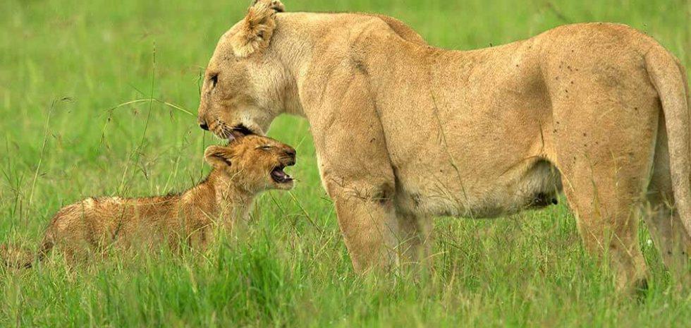 Lionmothercub